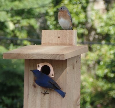 One Nest Box Bluebirds Like