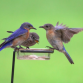 Statewide Bluebird Blitz April 7-9