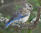 Eastern_Bluebird_l07-53-054_l