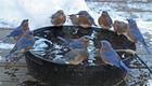 bluebirdswater